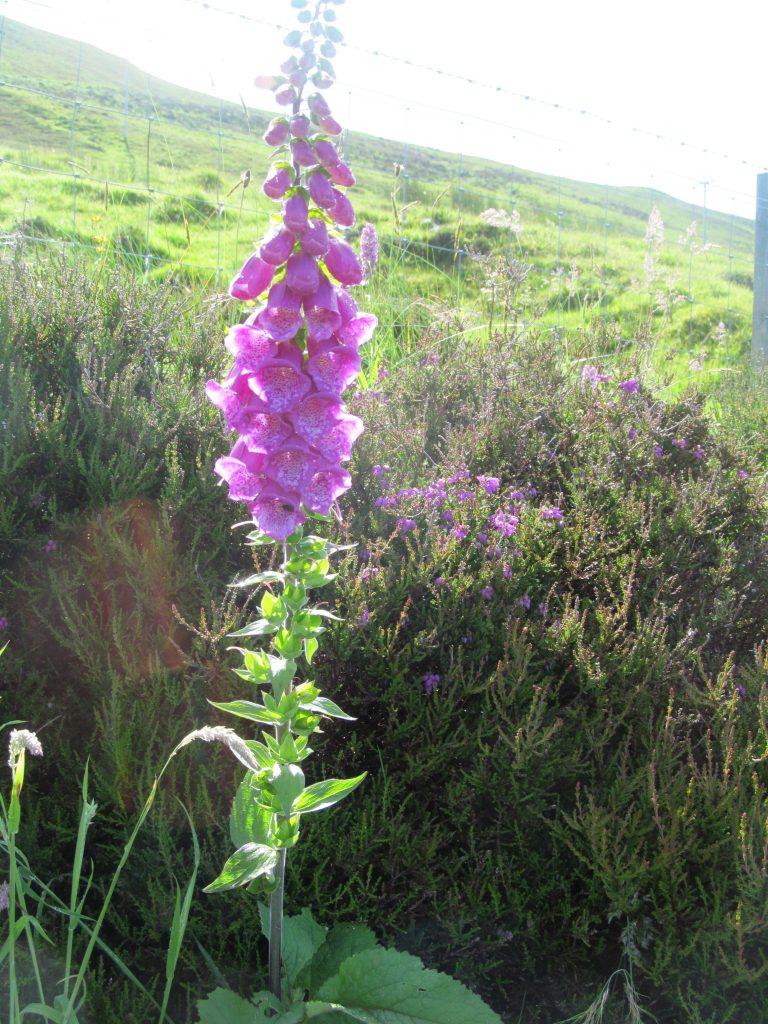 Foxglove Skye Scotland