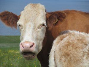 Cow Skye Scotland