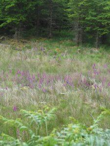 Foxgloves http://isleofskyeartstudio.com