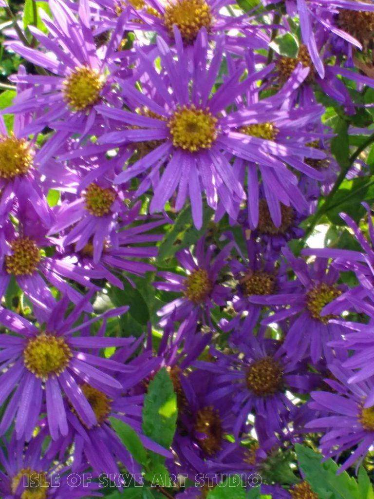 purple-daisies