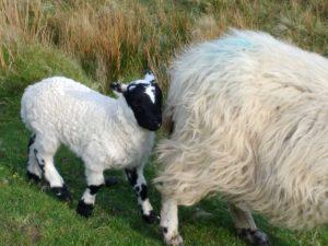 Lamb at Talisker Bay Skye