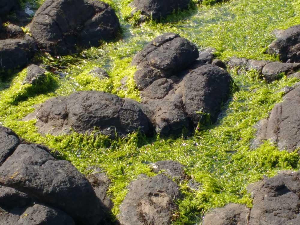 Vivid green seaweed