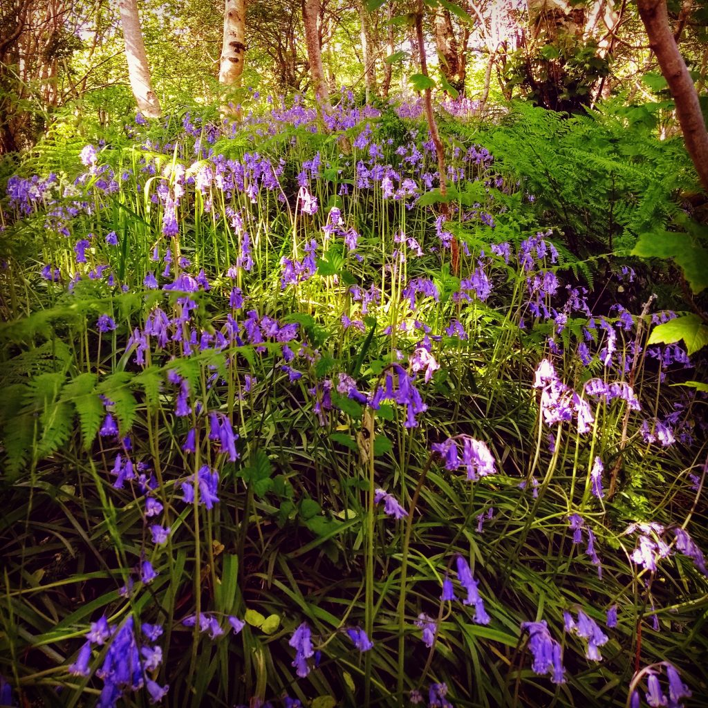 Bluebells in Uig Woodland