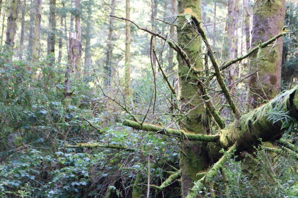 Forest fallen trunk Skye