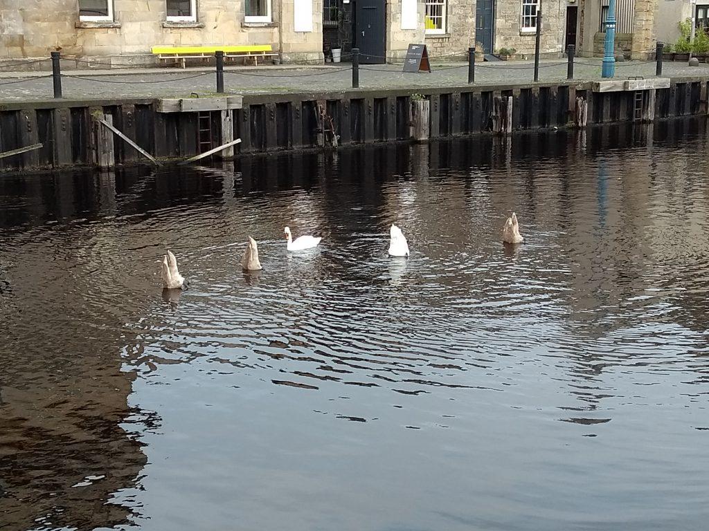 Swans in a row in Edinburgh not ducks