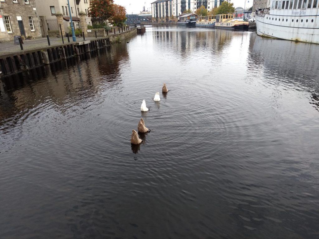 Ducks in a row (or rather swans) in Edinburgh