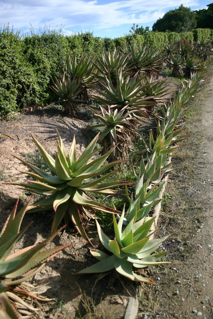 Row of Aloe