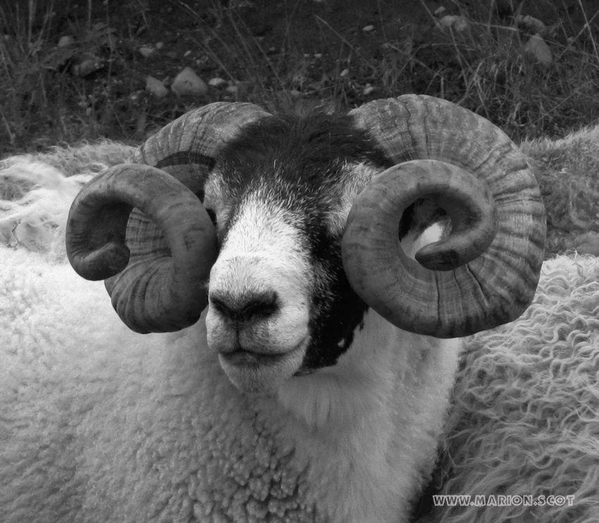 Reference photo ram horns