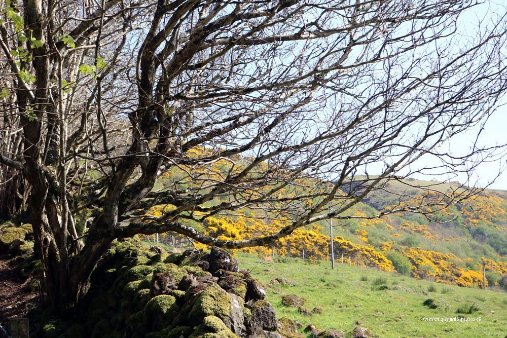 tree gorse uig