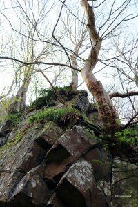 uig woodland crag tree from below