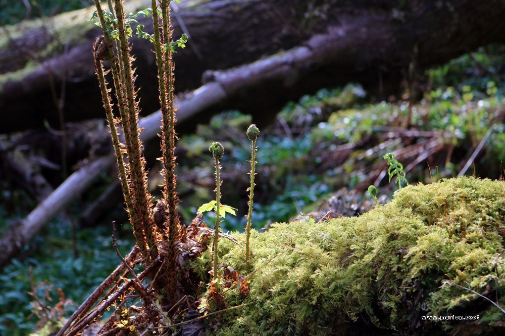 uig woodland ferns