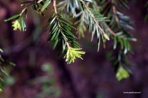 uig woodland spring pine growth