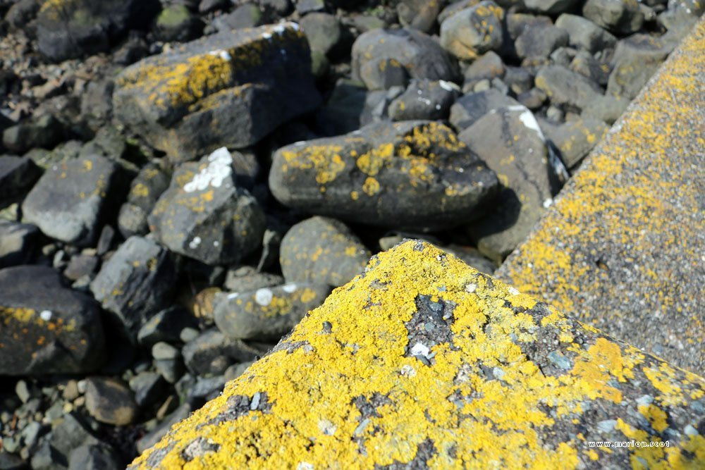 yellow lichen seashore