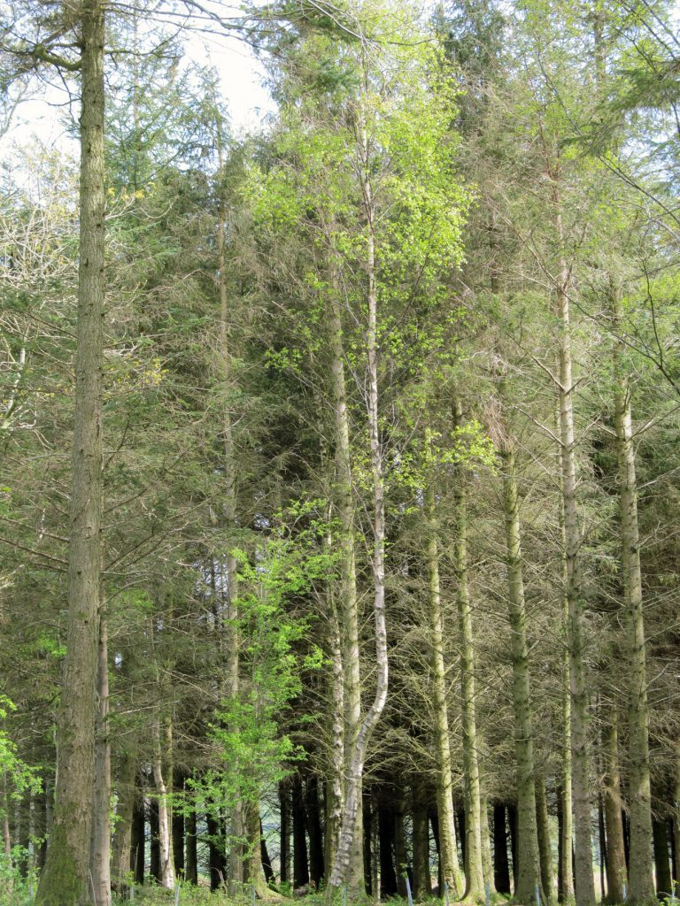 Stand of very tall pine trees for painting project