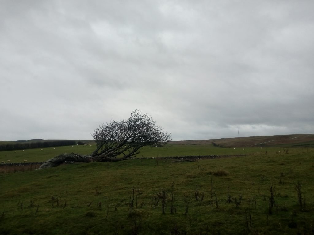 Solitary blownover tree in Lake District