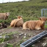 Highland Cow painting project reference