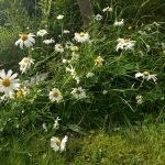 Reference photo of daisies for painting project